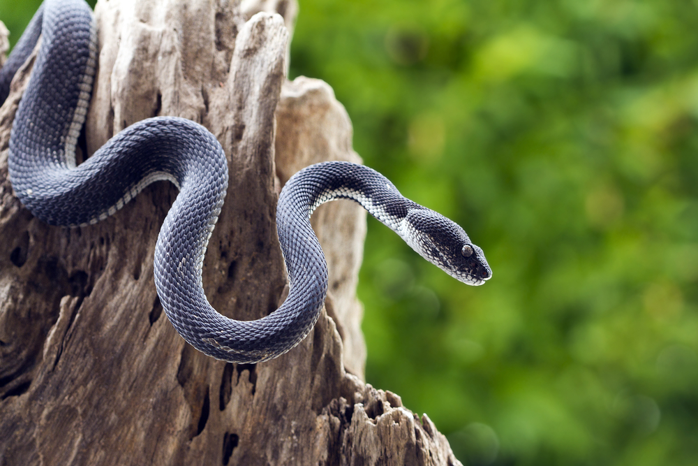 black-viper-snake-on-tree